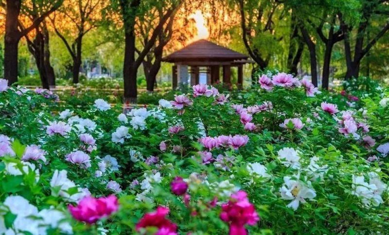 2020长春南湖公园赏花攻略(花期 品种)