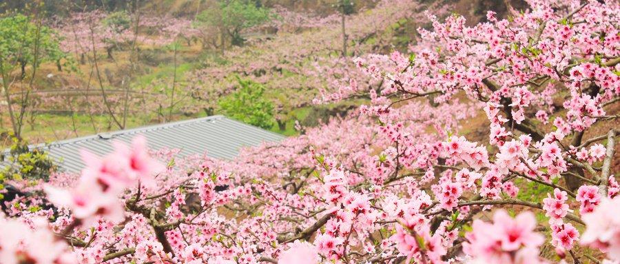 2021成都龍泉驛第35屆桃花節3月5日開幕