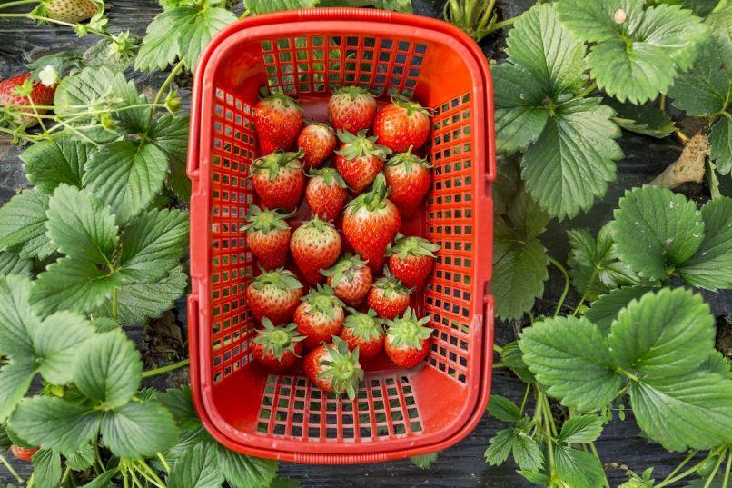 2019重庆冬季摘草莓的地方推荐(价格、路线)