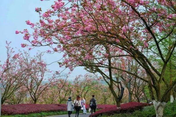 重庆主城看樱花的地方推荐TOP10