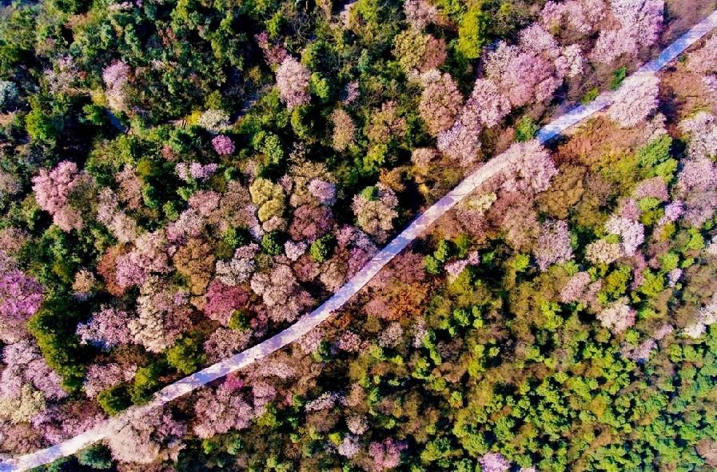 重庆渝北大盛云龟山樱花在哪里(附交通指南)