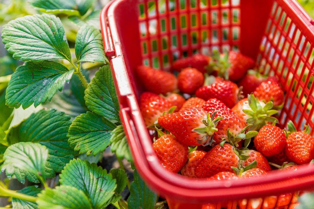 2021重慶武隆草莓采摘園攻略(地點 電話 價格)