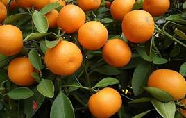 长沙哪里可以摘橘子
