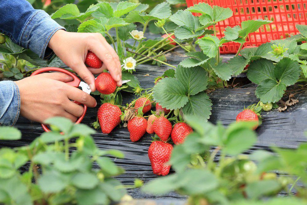长沙岳麓区草莓基地有哪些?(附电话地址价格)