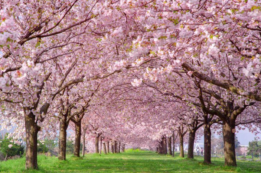 2021长沙樱花节活动汇总(更新中)