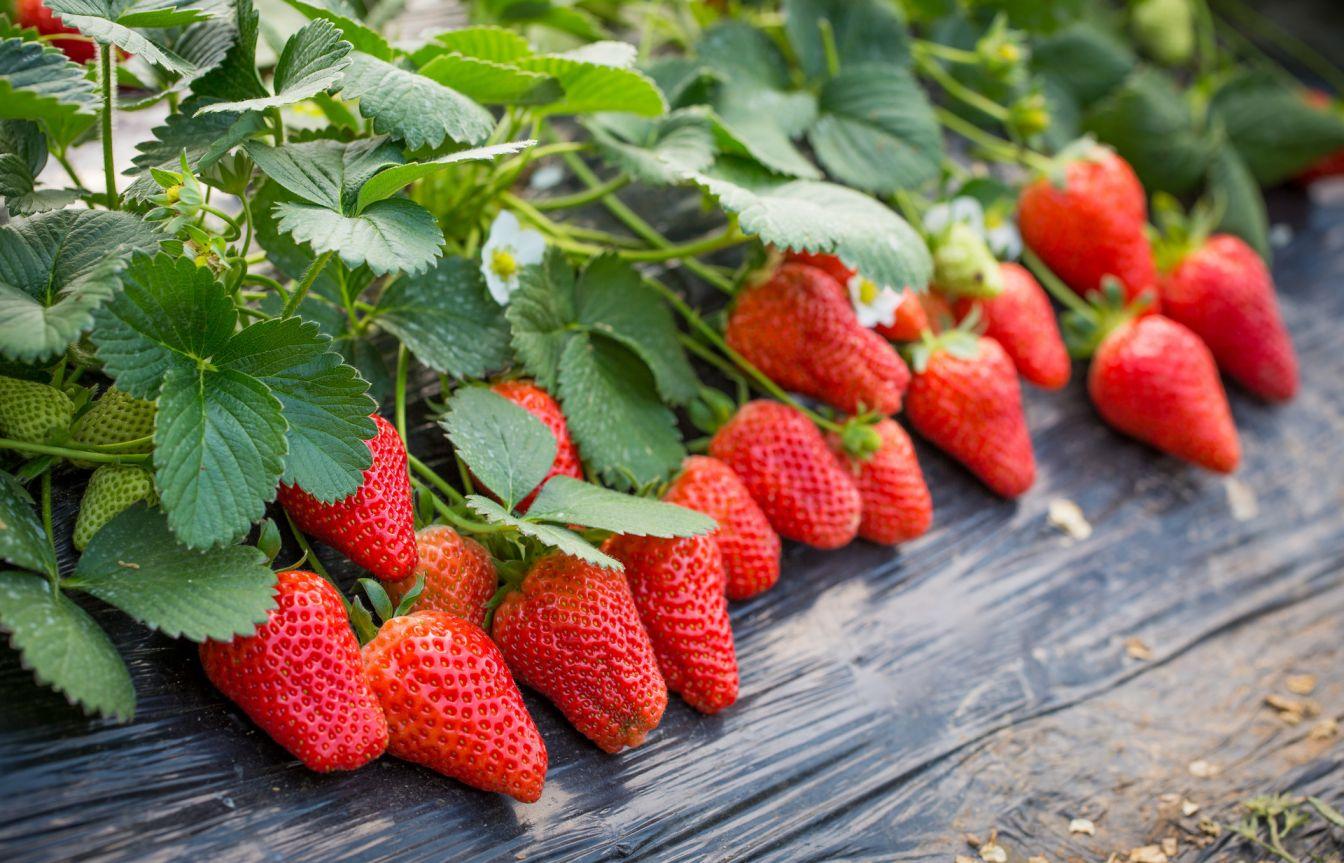 深圳光明新区摘草莓好去处