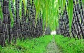 佛山哪里有甘蔗采摘