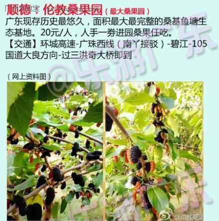 桑果成熟的季节到了 2015广州周边摘桑果好去处