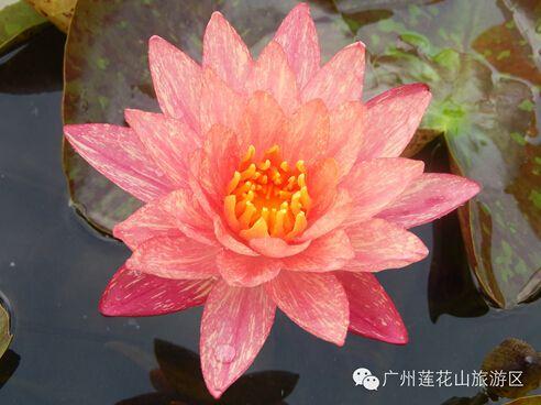 2015广州番禺莲花节时间、地点及交通信息一览