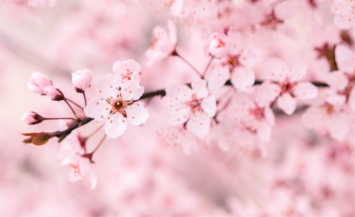 兴义冬樱花开放时间
