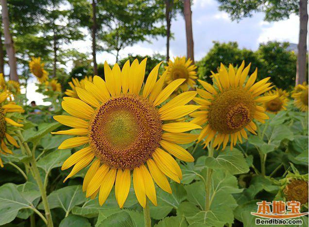 2021广州海心沙有向日葵吗?附暑假赏花指南