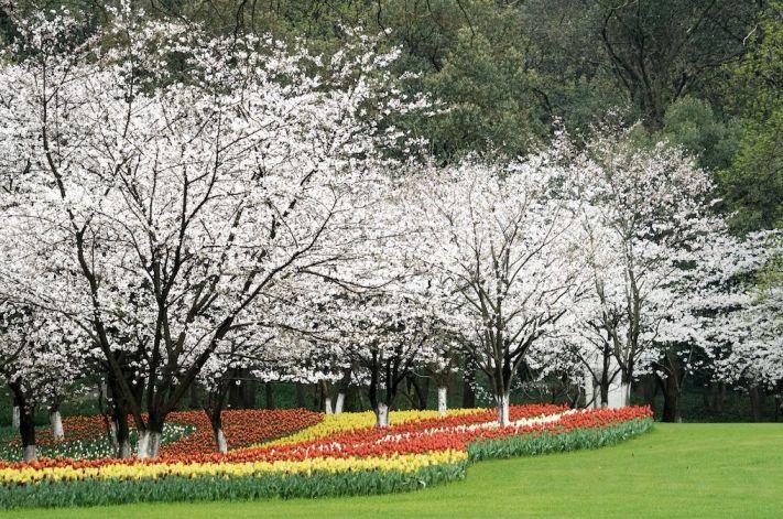杭州太子湾公园樱花现场实拍图片一览