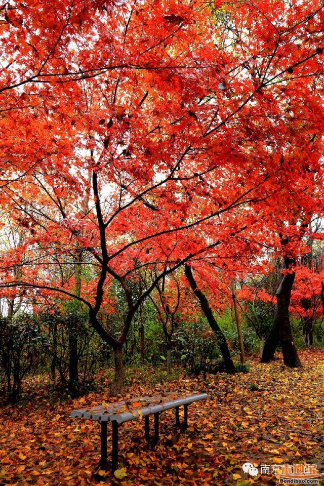 南京秋天好玩的地方 去栖霞山看枫叶最好不过