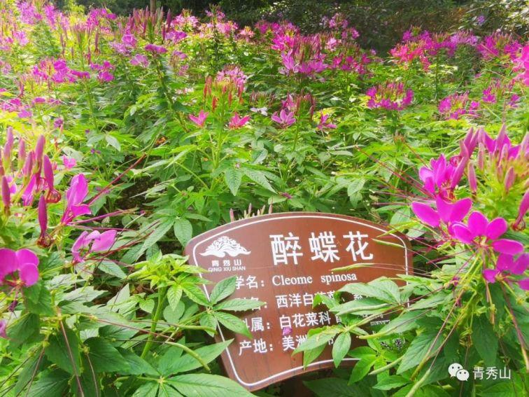 2020年南宁青秀山10万多株醉蝶花如约绽放
