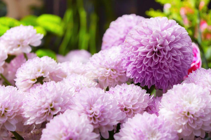 2019新葡新京共青森林公园赠菊活动免费预约方式