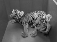 2017年9-10月广州动物园再添4只华南虎宝