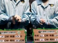 6年共9只大熊猫在华南诞生 广州长隆大熊