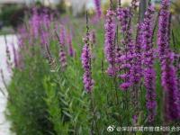 深圳羊臺山森林公園可以賞花嗎