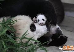 上海大熊猫基地熊猫宝宝满月 不定时对游客开放