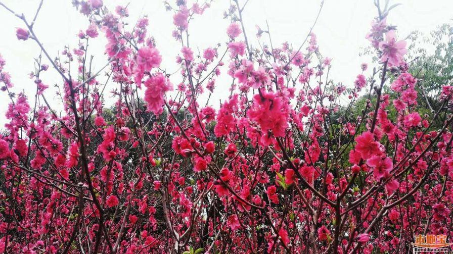 莲花山公园桃花
