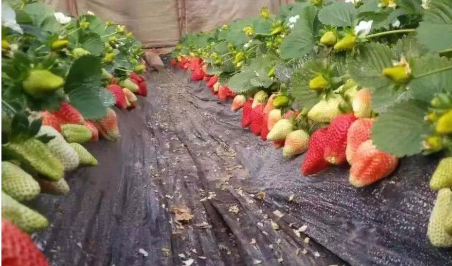 西青区草莓采摘地址+价格