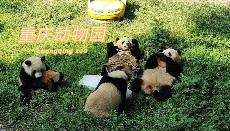 【重庆动物园】全国大熊猫、华南虎、小熊猫繁殖基地。