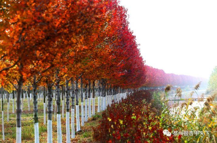 邳州红枫公园2020